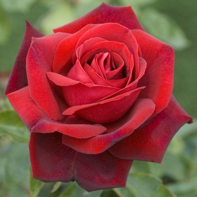 Роза Эдит Пиаф (Edith Piaf) купить, недорого, отзывы