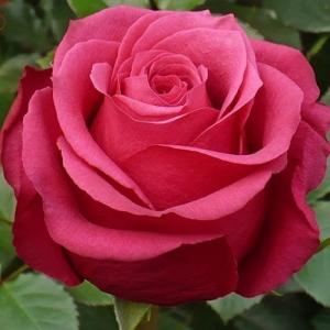 Роза Пур Паур (Pour Paur) купить, недорого, отзывы
