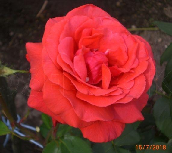 Роза Дуфтвольке (Duftwolke) купить, недорого, отзывы