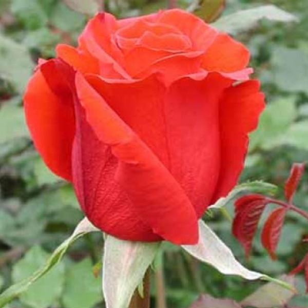 Роза  Роял Массай (Royal Massay) купить, недорого, отзывы