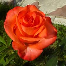 Роза Вау (Wow) купить, недорого, отзывы