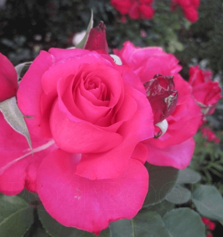 Роза Памяти Высоцкого (Venrosa) купить, недорого, отзывы
