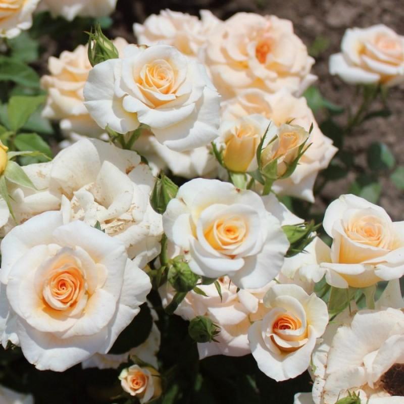 Роза  Крем Грация   (Cream Gracia) купить, недорого, отзывы