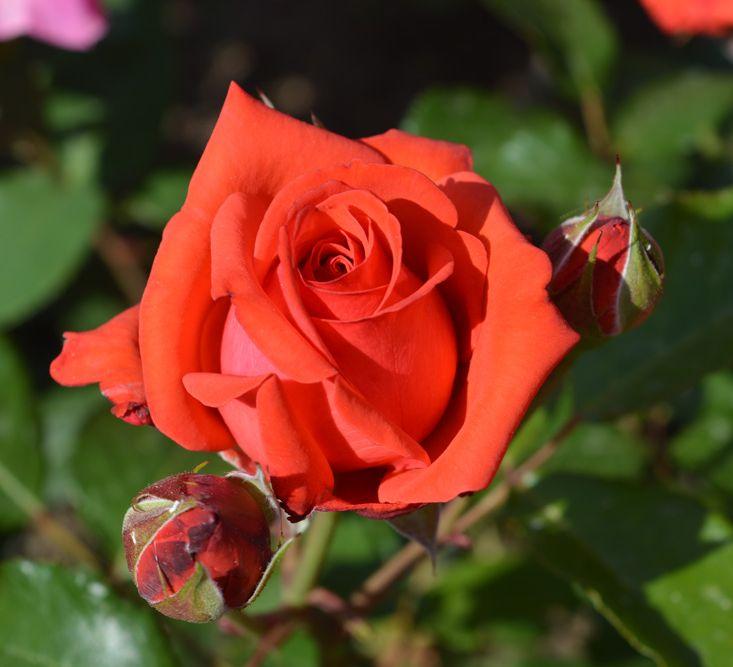 Роза Коралловый сюрприз (Korallovyj Sjurpriz) купить, недорого, отзывы