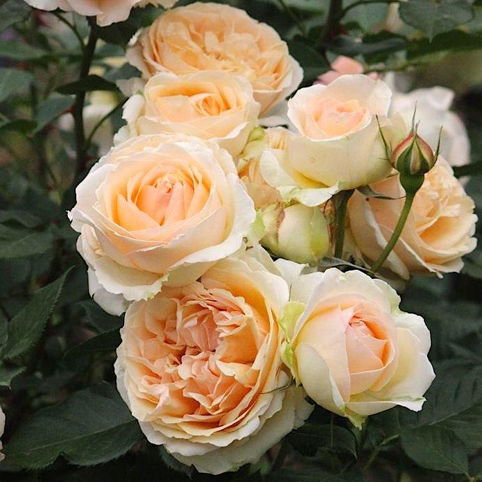 Роза Женевьев Орси ( Genevieve Orsi  ) купить, недорого, отзывы