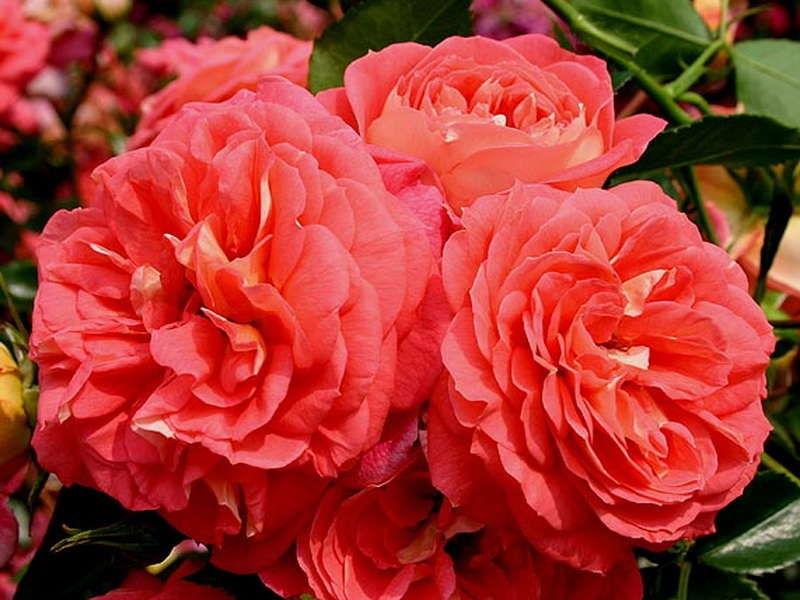 Роза Зоммерзонне   ( Sommersonne) купить, недорого, отзывы
