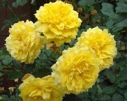 Роза Чайна гел   ( hina Girl) купить, недорого, отзывы