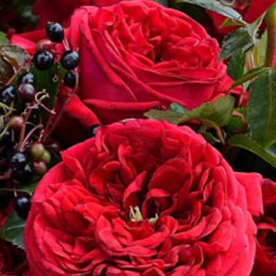 Роза Республик де Монмартр  ( Republique de Montmartre) купить, недорого, отзывы