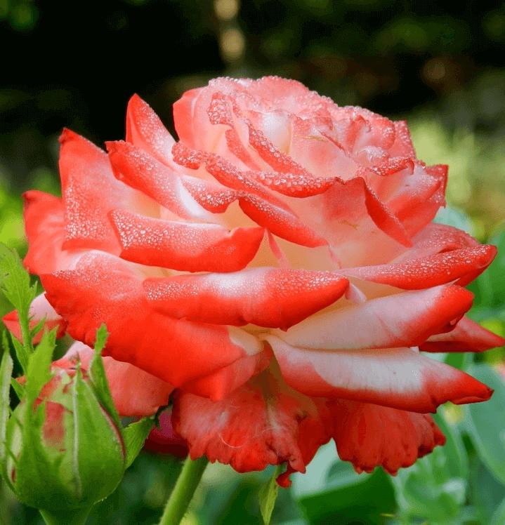 Роза Императрица (Imperatrice) купить, недорого, отзывы