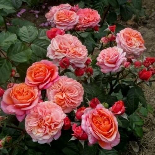 Роза Мэри Энн   ( Mary Ann) купить, недорого, отзывы