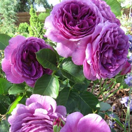 Роза Минерва  ( Minerva) купить, недорого, отзывы