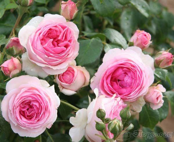 Роза Эрмитаж    (Joachim du Bellay) купить, недорого, отзывы