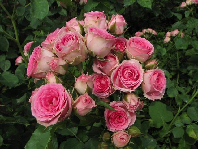 Роза Супер Сенсация купить, недорого, отзывы