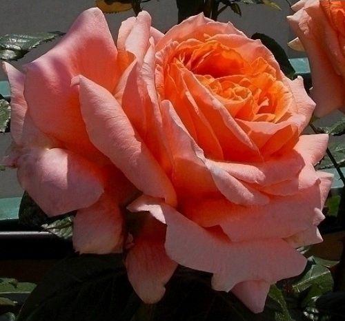 Роза Амур де Молен    (Amour de Molene) купить, недорого, отзывы
