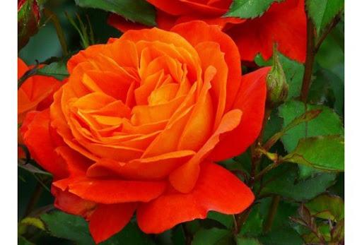 Роза Супер  Трупер    (Super Trouper) купить, недорого, отзывы