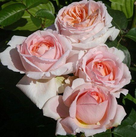 Роза Андре ле Нотр   ( Andre Le Notre) купить, недорого, отзывы