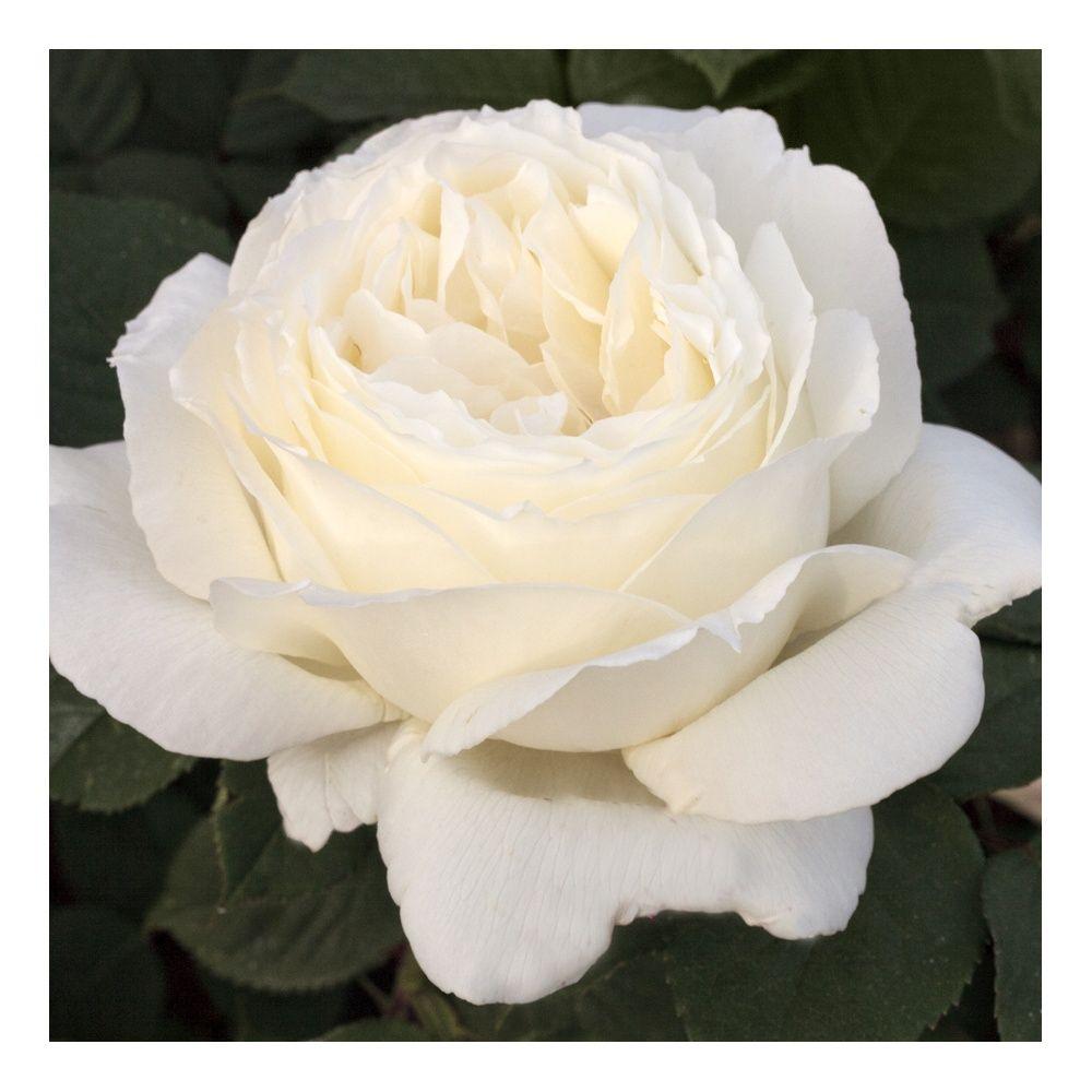 Роза Жанна Моро  ( Jeanne Moreau) купить, недорого, отзывы
