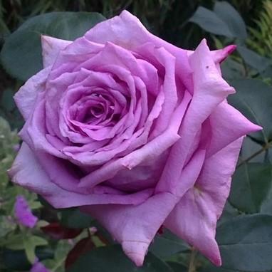 Роза Мами Блю ( Mamy Blue) купить, недорого, отзывы