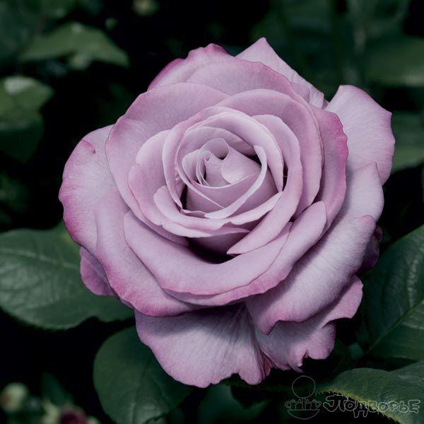Роза Нептун  ( Neptune ) купить, недорого, отзывы