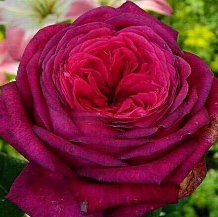 Роза Гете  (Johann Wolfgang von Goethe) купить, недорого, отзывы