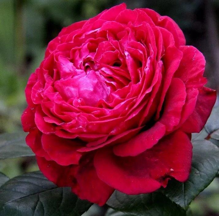 Роза Четырех Ветров  (Rose des 4 Vents ) купить, недорого, отзывы