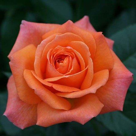 Роза Смузи  (Smoothie) купить, недорого, отзывы