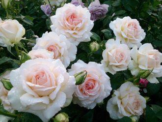 Роза Чандос Бьюти  ( Chandos Beauty) купить, недорого, отзывы