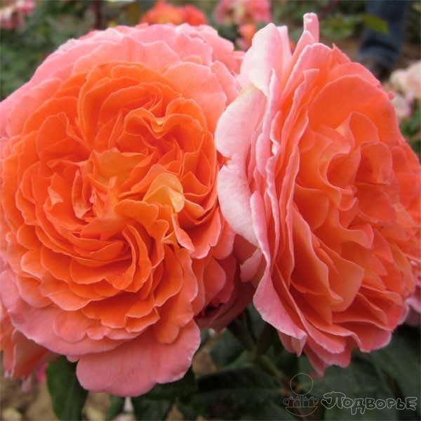 Роза Мами Дитьер  ( Mamie Dittiere) купить, недорого, отзывы