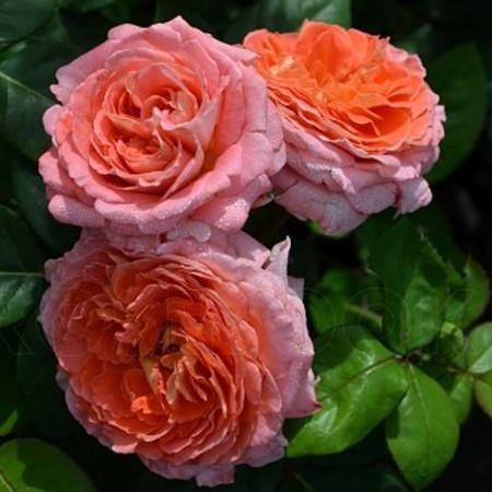 Роза Нотр Дам де Розари   (   Notre Dame du Rosaire ) купить, недорого, отзывы