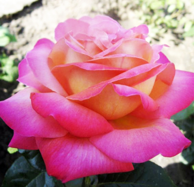 Роза Чикаго Пис (Chicago Peace) купить, недорого, отзывы