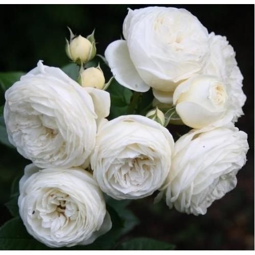 Роза Артемис  ( Artemis) купить, недорого, отзывы
