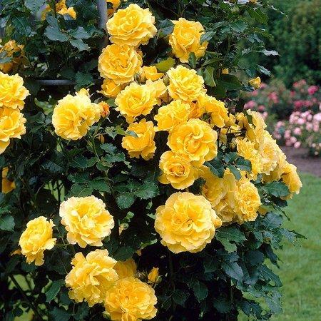Роза Зоммергольд  ( Sommergold ) купить, недорого, отзывы