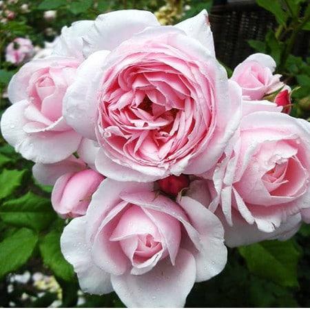 Роза Нахема  ( Nahema) купить, недорого, отзывы