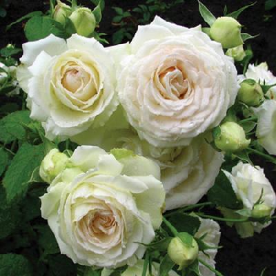 Роза Пале Рояль  ( Palais Royal) купить, недорого, отзывы