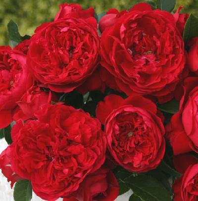 Роза Флорентина  ( Florentina ) купить, недорого, отзывы