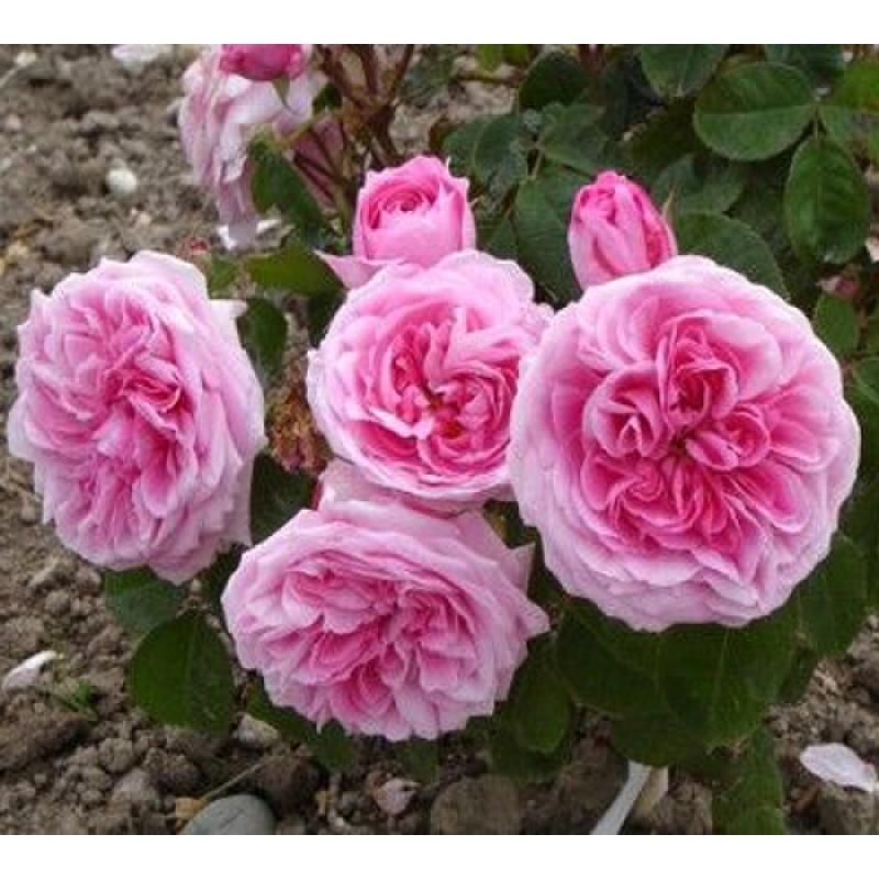 Роза Гертруда Джекилл  ( Gertrude Jekyll) купить, недорого, отзывы