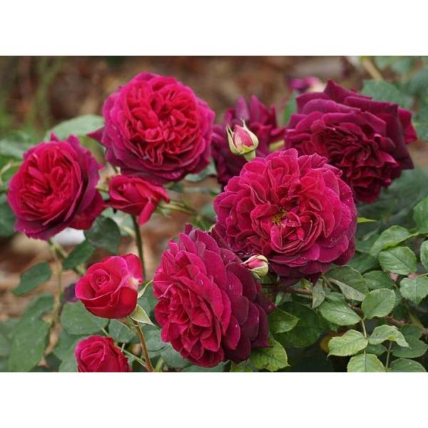 Роза Манстед Вуд  ( Munstead Wood) купить, недорого, отзывы