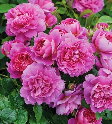 Роза Принцесса Анна  ( Princess Anne) купить, недорого, отзывы