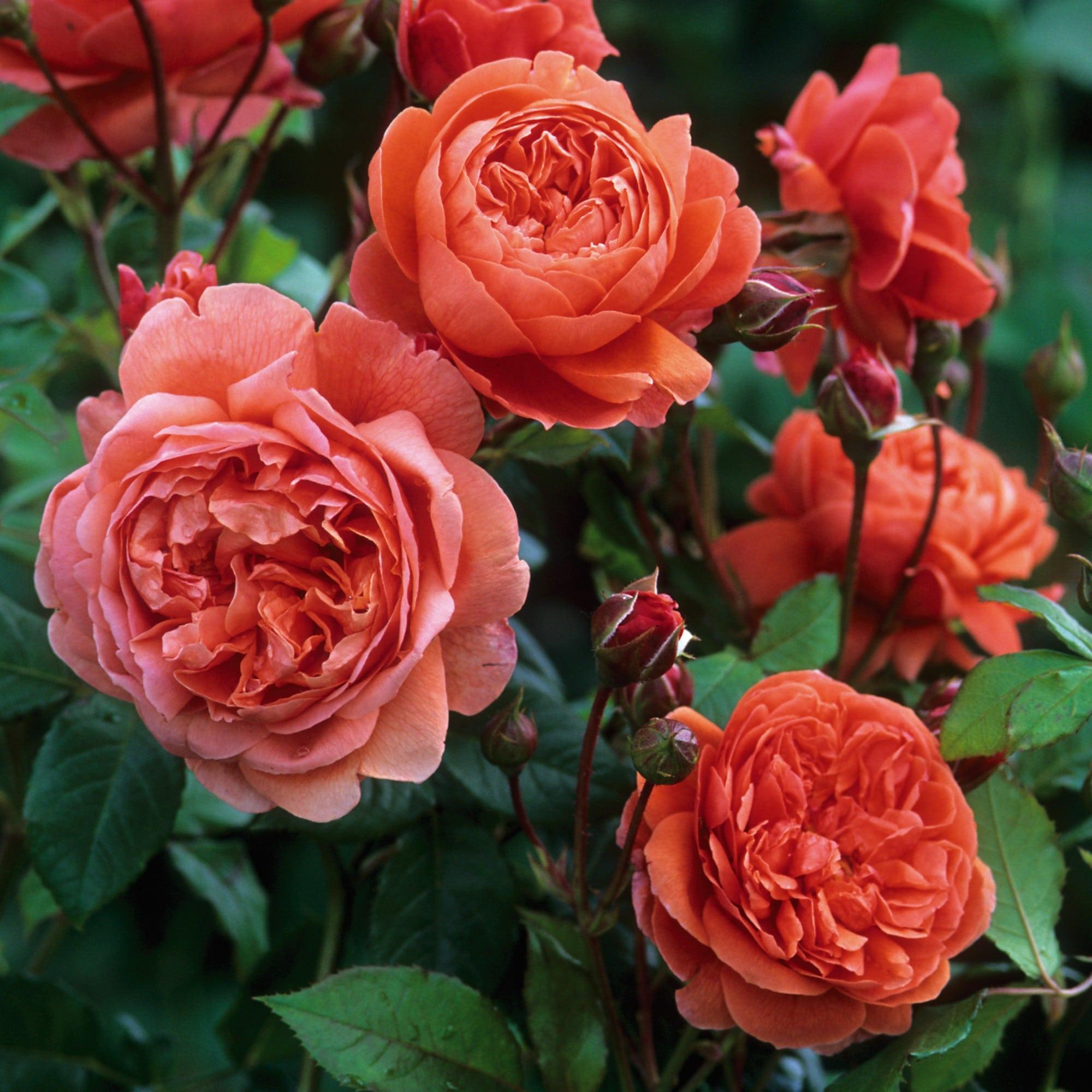 Роза Саммер Сонг  (Summer Song ) купить, недорого, отзывы
