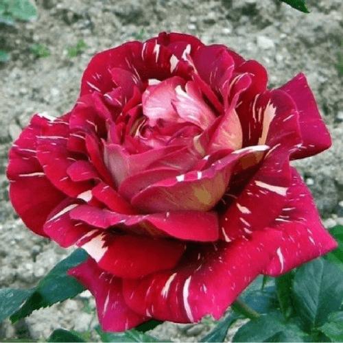 Роза Пестрая фантазия (Pestraja Fantazija) купить, недорого, отзывы