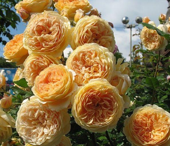 Роза Краун Принцесс Маргаритер  (Crown Princess Margareta) купить, недорого, отзывы