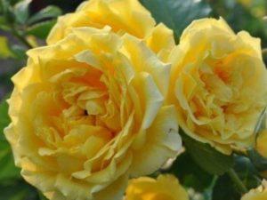 Роза Голден Парфюм  (GOLDEN PARFUM) купить, недорого, отзывы
