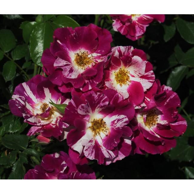 Роза Пепл Сплеш  ( Purple Splash) купить, недорого, отзывы