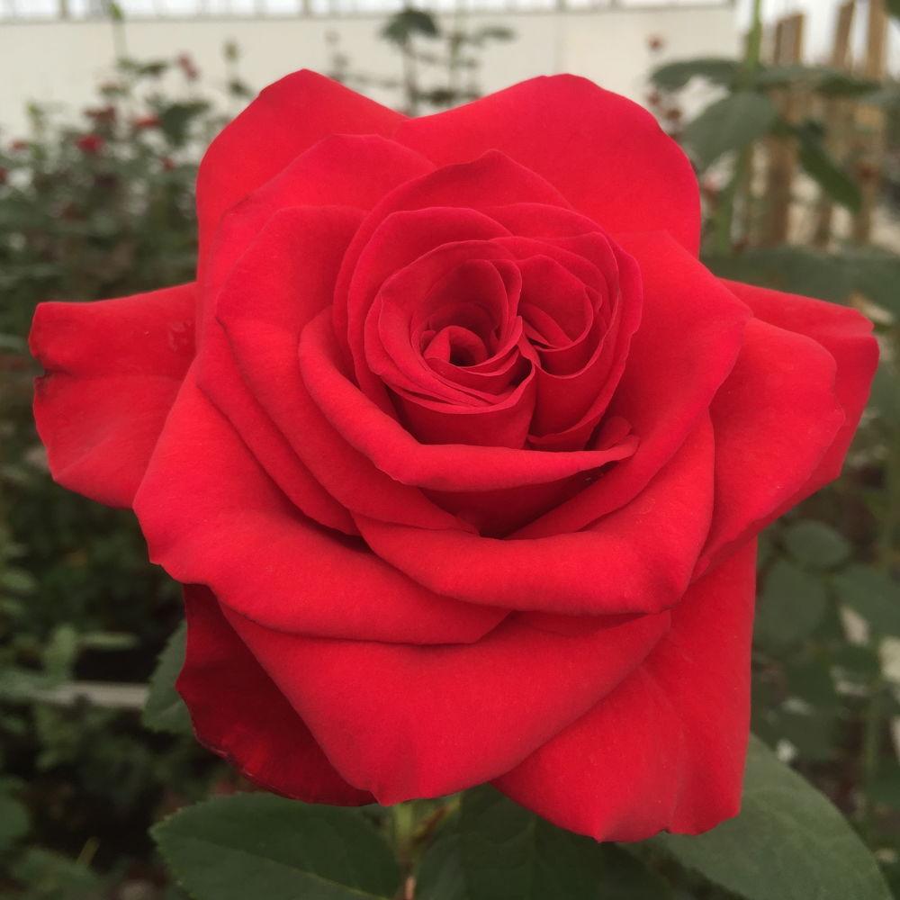 Роза Ред Флейм  (Red Flame ) купить, недорого, отзывы