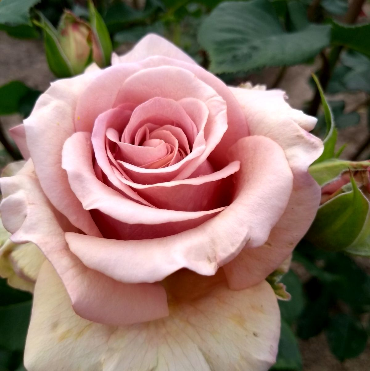 Роза Мокароза  (Mokarosa) купить, недорого, отзывы