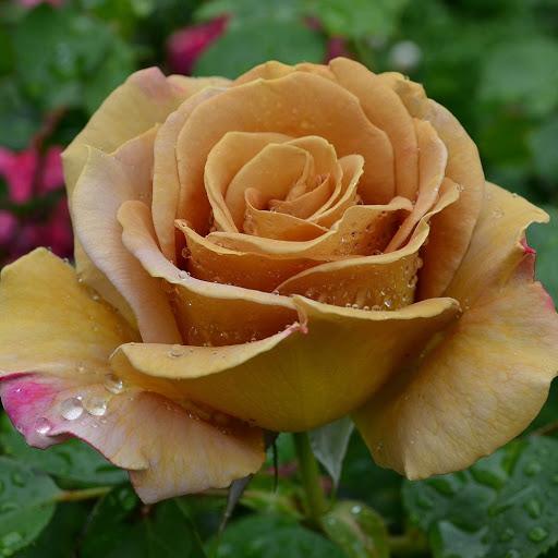 Роза Хани Дижон  (Honey Dijon) купить, недорого, отзывы