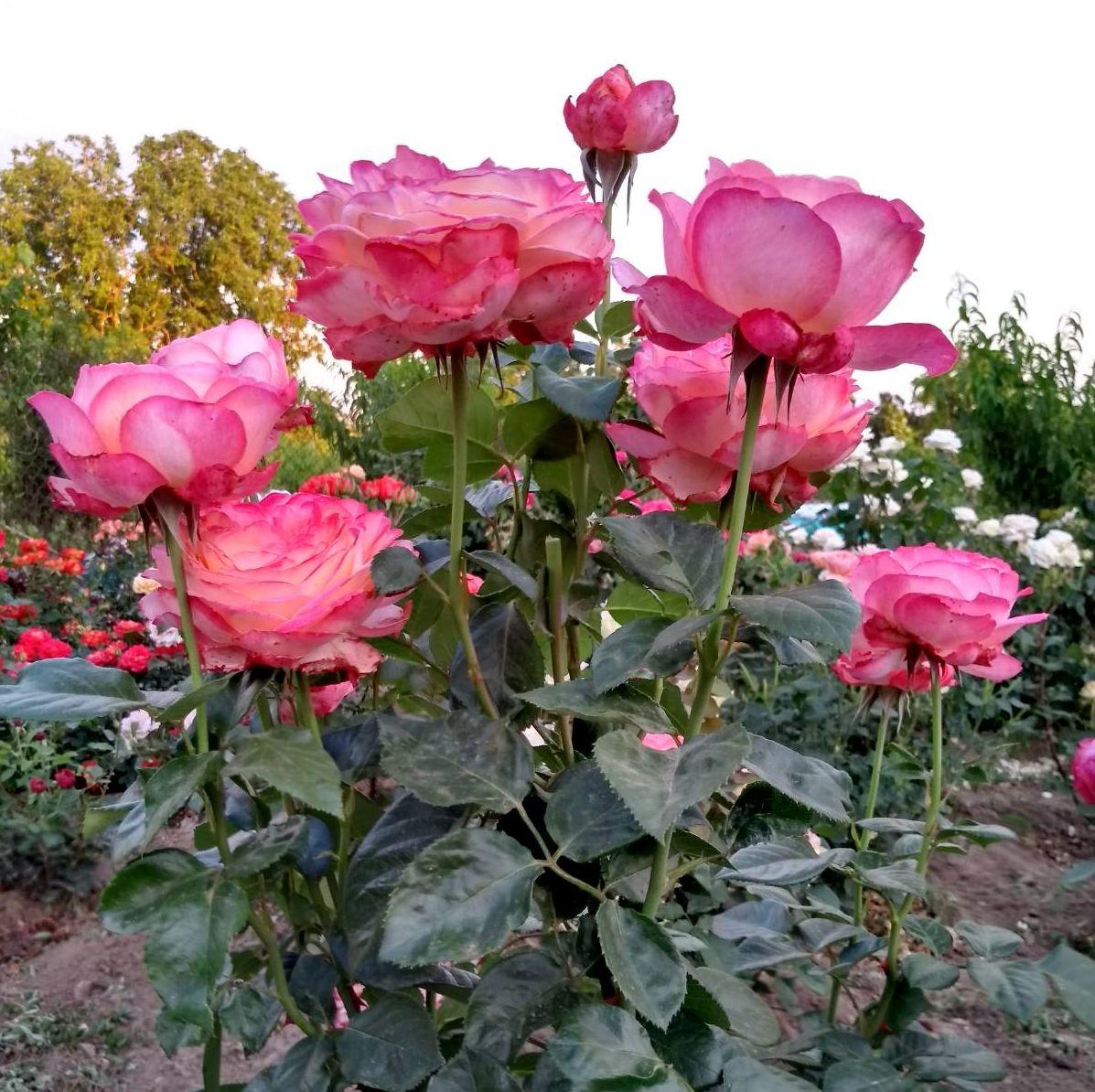 Роза Юбилей Кордеса  ( Kordes' Jubilee) купить, недорого, отзывы