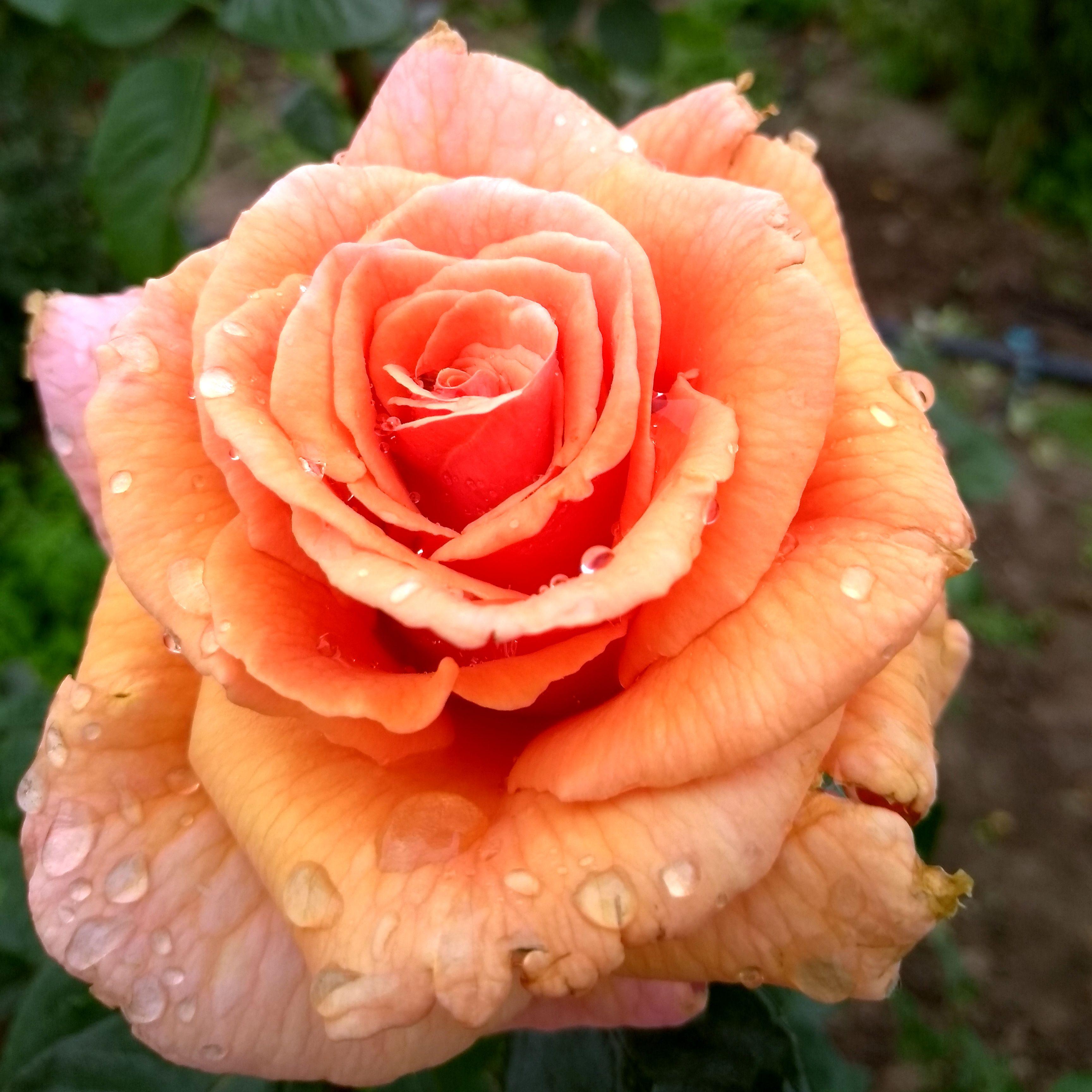 Роза Пако Рабани  ( Paco Rabanne) купить, недорого, отзывы