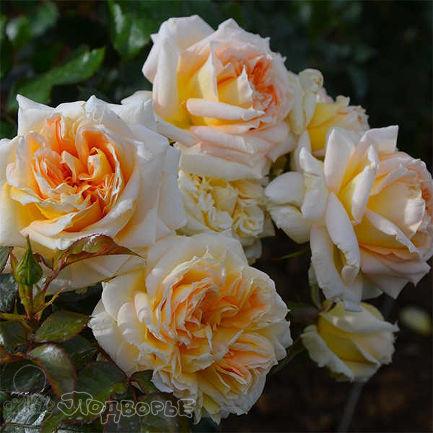 Роза Ля Калиссоне  (La Calissonne)   Шраб купить, недорого, отзывы