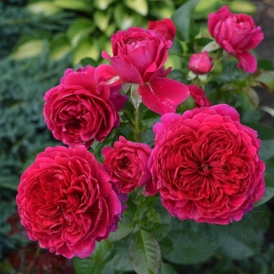 Роза Соул  (Soul )  Шраб купить, недорого, отзывы